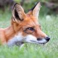 portrait-of-a-fox