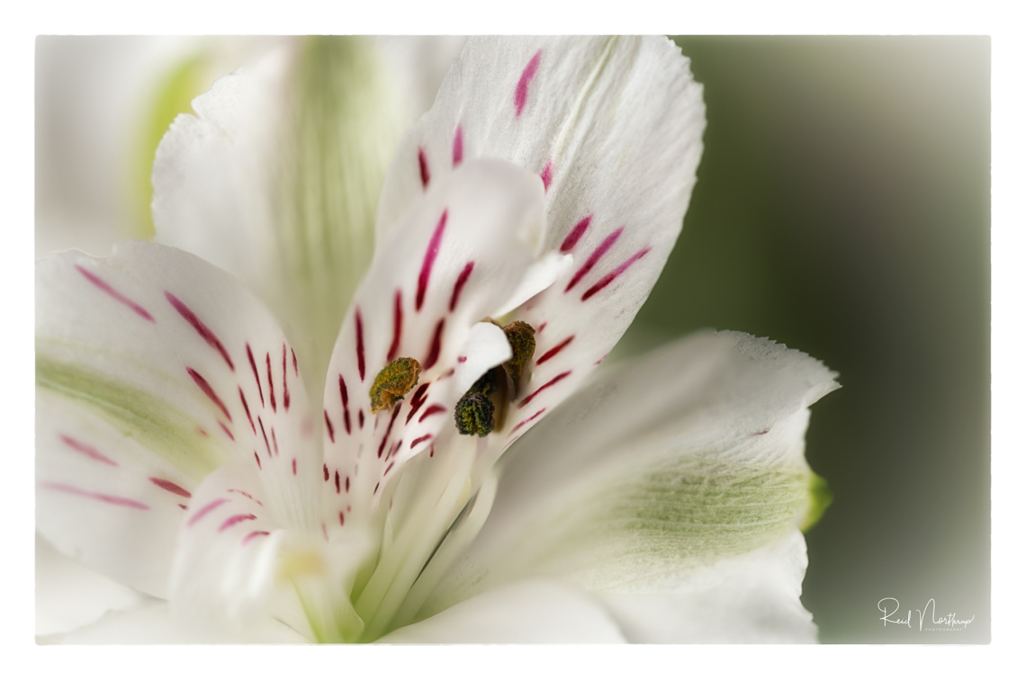 Astroemeria Macro