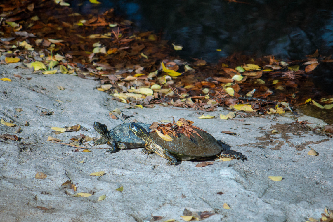 Fall turtles
