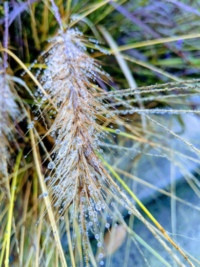 Foxtail Dew
