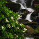 Seven Falls with Mountain Laurel