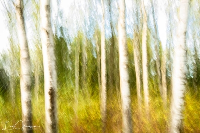 Painted Birch