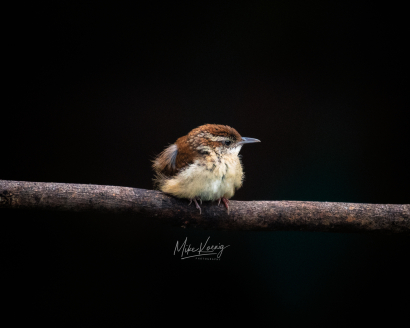 Alone - Carolina Wren Juvenile