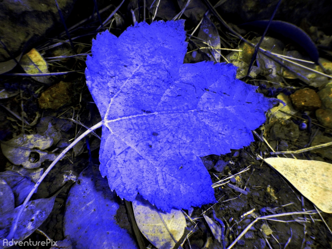 Blue Maple Leaf