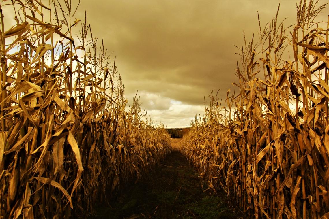 Autumn Fields of Corn