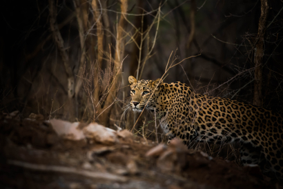 Leopard coming out of woods