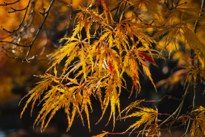 Golden Maple