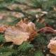 Autumn fir tree