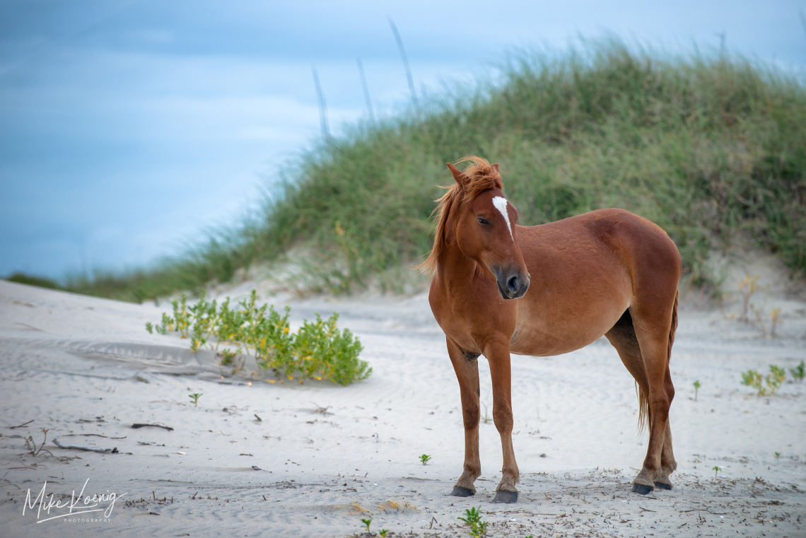 Wild Colonial Spanish Mustangs Outer Banks