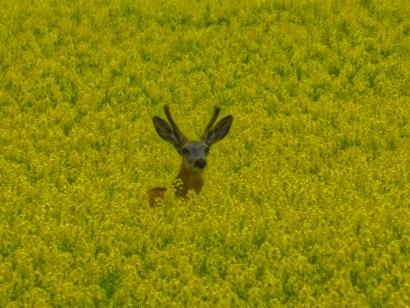 Deer peeking threw the Canola...
