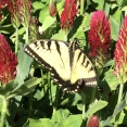 monarch-in-a-field-of-wild-clovers