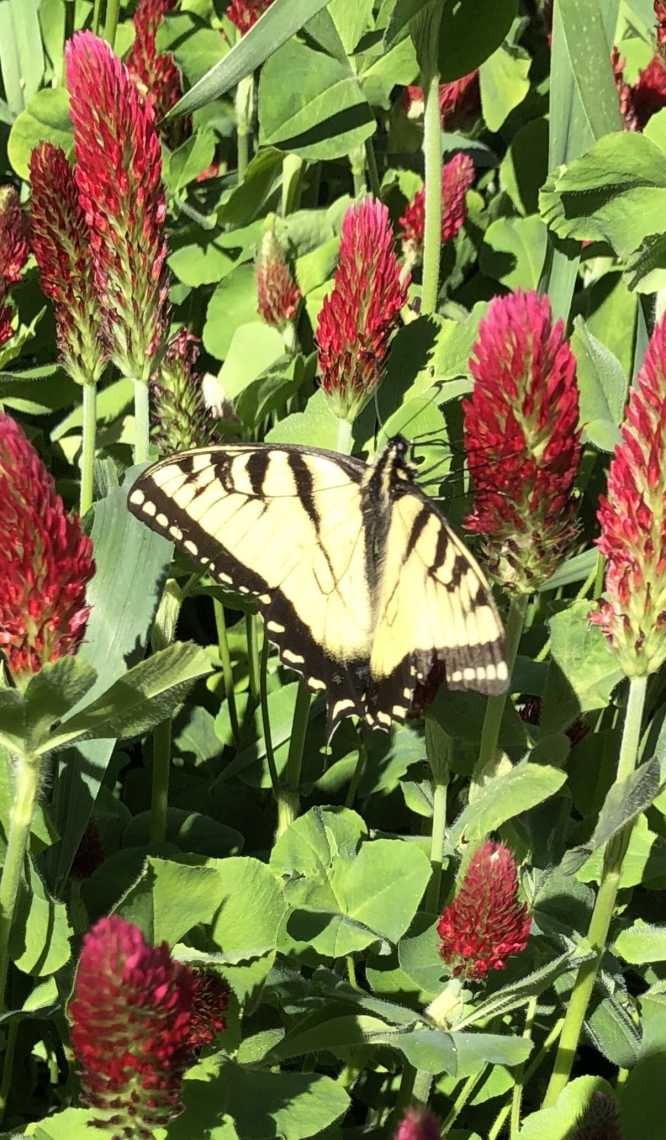 Monarch in a field of wild clovers