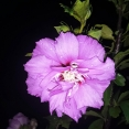 night-bloom