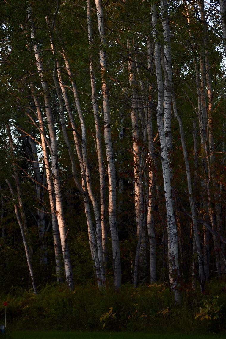 Poplars in light