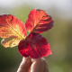 The bright red leaves in hand
