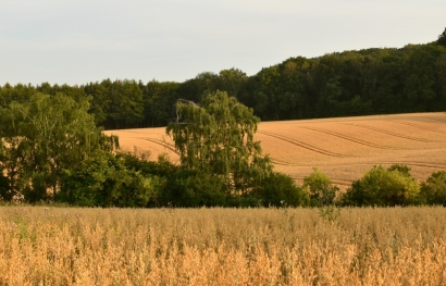 Landscape. Wheat field.
