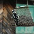 woodpecker-on-the-feeder