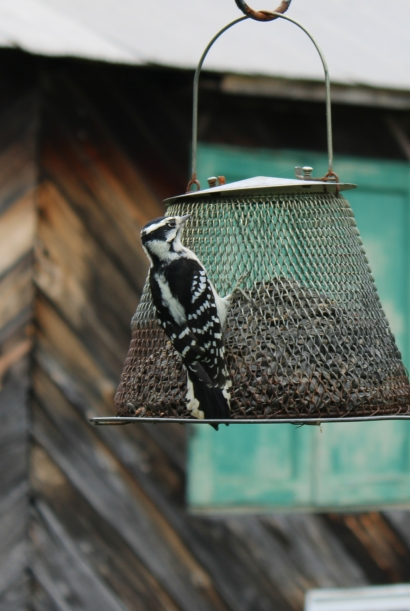 Woodpecker on the feeder