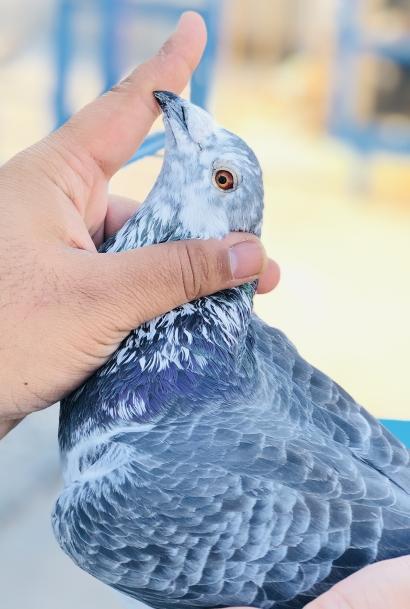 Belgium Red eyed pigeon