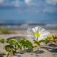 Folly Beach South Carolina Wild Flowers