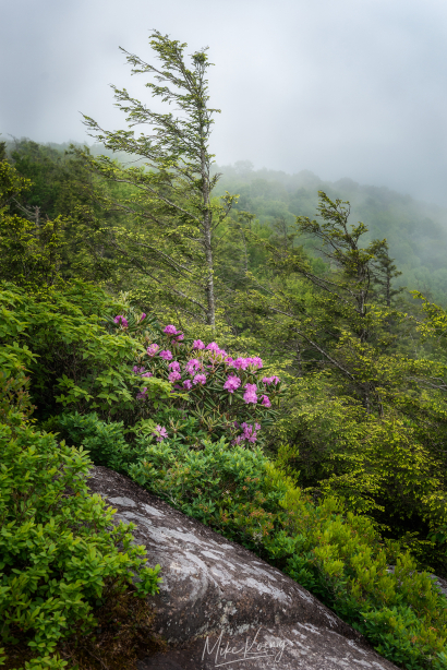 Wind Swept Trees & Rhododendro...
