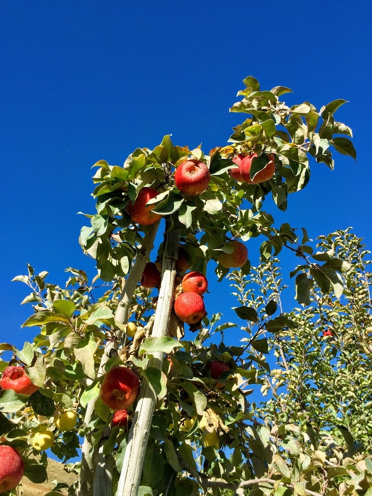 Methow Valley apples