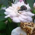 beetle-love