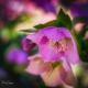 Velvet Lentil Rose