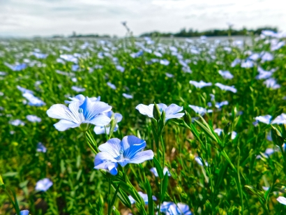 Flax field in full bloom