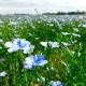 Flax field in full bloom