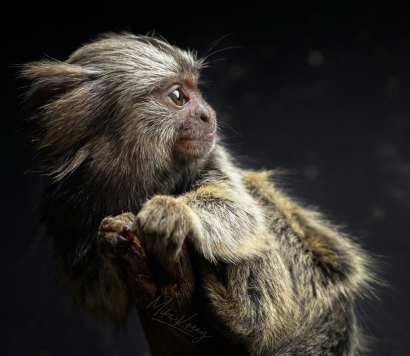 Baby Marmoset on Branch