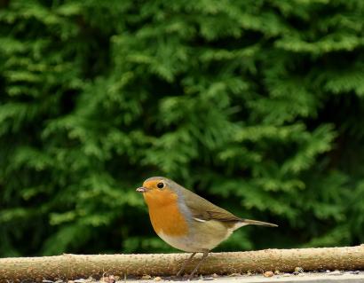 Little robin bird.