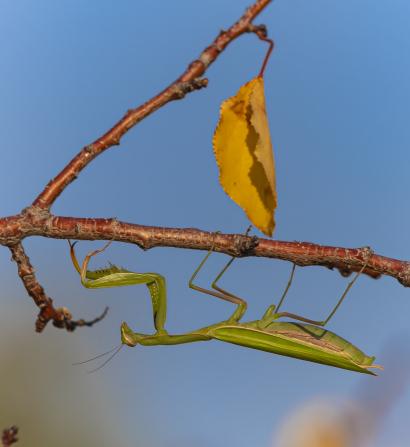 Praying mantis beetle